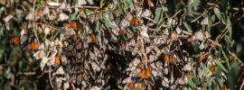 Big cluster of Monarch Butterflies
