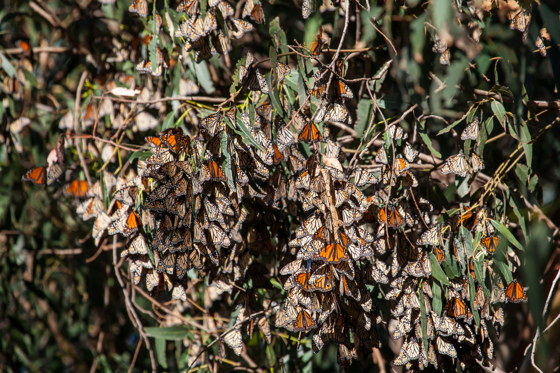 Big cluster of Monarch Butterflies