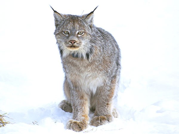 The U.S. Fish and Wildlife Service reversed course late last week and made a recommendation to remove endangered species protections from lynx.